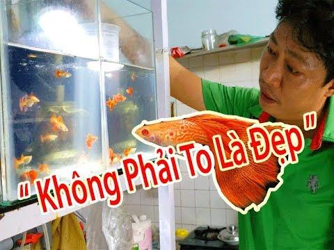 Khám Phá Một Cửa Hàng Chuyên Bán Cá Bảy Màu Đẹp ở Quận GÒ VẤP ( Guppies Fish Store In Sài Gòn )
