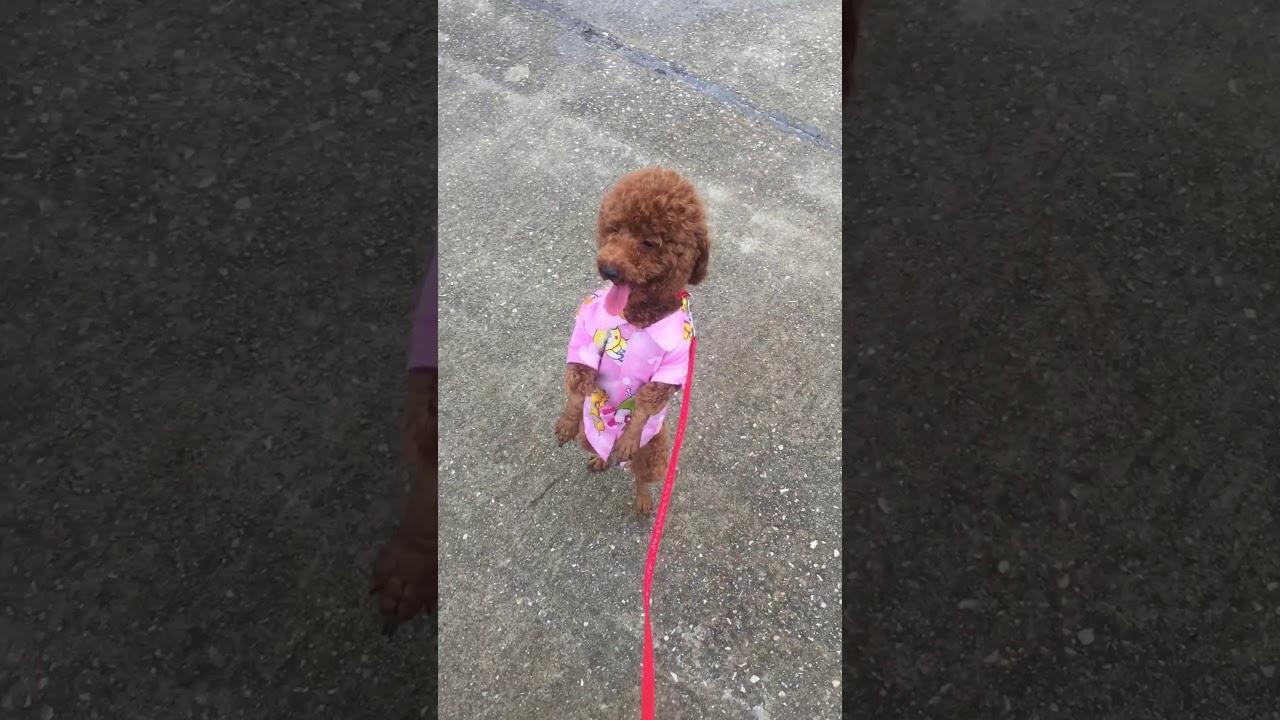 Chú chó poodle mặc quần áo đi bằng 2 chân