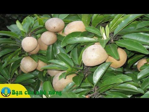 Làm giàu từ mô hình trồng cây Sa pô (Hồng xiêm) ở miền Tây Nam bộ
