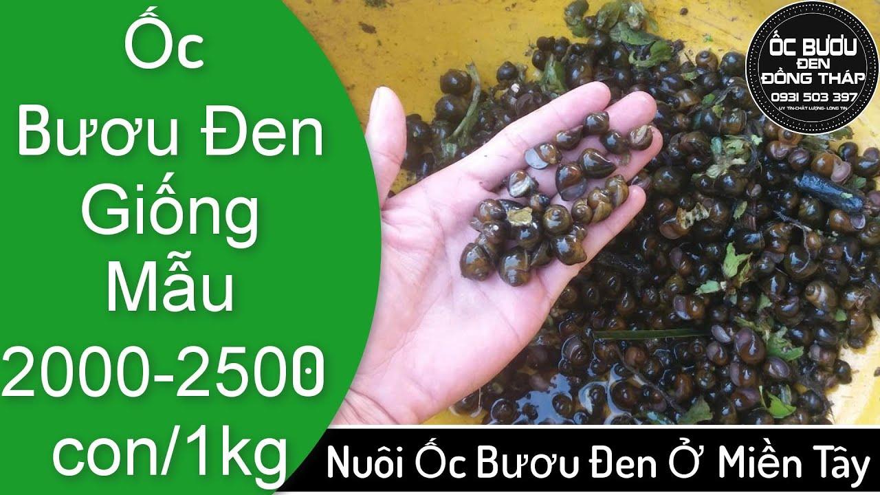 Nông dân miền Tây nhân giống ốc bươu tăng thu nhập   Kiếm tiền triệu mỗi ngày nhờ bán ốc bươu