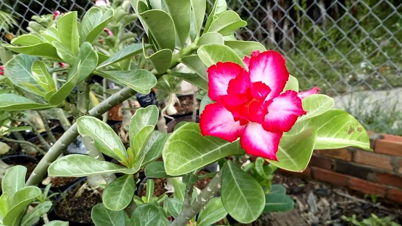 Vườn sứ Cần Giuộc – đã Bán cây sứ hạt to giá 200k