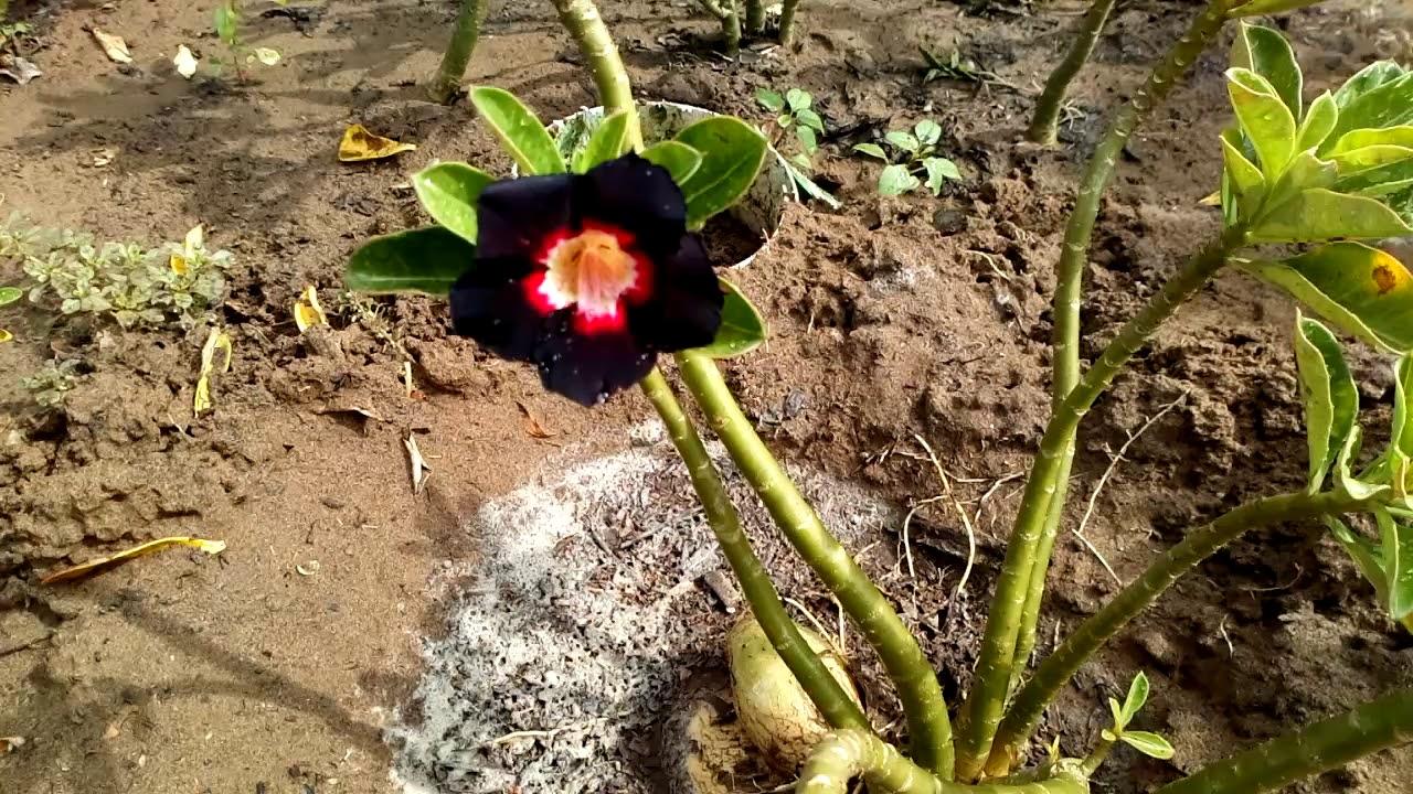 Vườn sứ Cần Giuộc – Đã Bán cây sứ hạt 1 giá 1 triệu ngày 20.10 – đã về Vũng Tàu