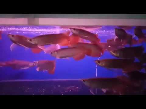 Mua Cá Rồng Huyết Long Ở Hà Nội. Địa chỉ bán cá rồng ở Hà Nội