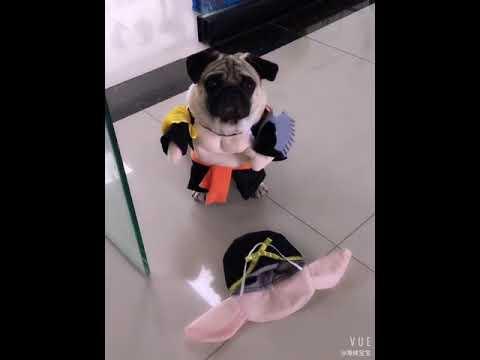 Áo cosplay cho chó mèo hình trư bát giới  Quần áo chó mèo