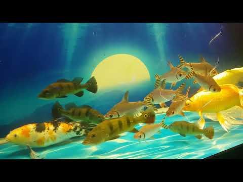Bán Cá Phi Phụng   Phụ Kiện Cho Hồ Cá Rồng 0975880333