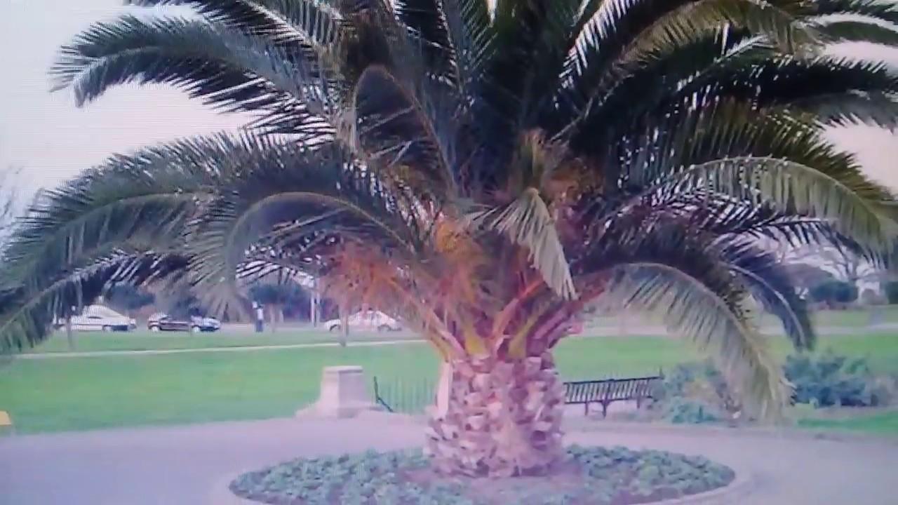 Bán cây giống chà là với số lượn lớn liên hệ SĐT 0383725718 !