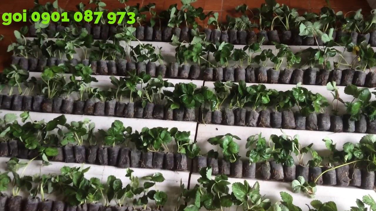 Dâu tây Cần Thơ, cây giống dâu tây chịu nhiệt tại Cần Thơ