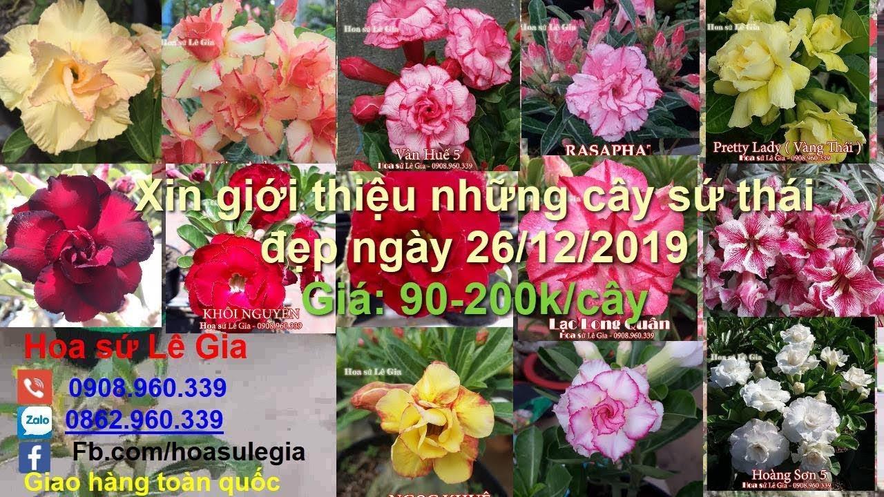 26/12/19 – Nay con có 36 cây sứ thái đẹp, giá rẻ. Giá từ : 90-200k/cây. Liên hệ : 0908.960.339