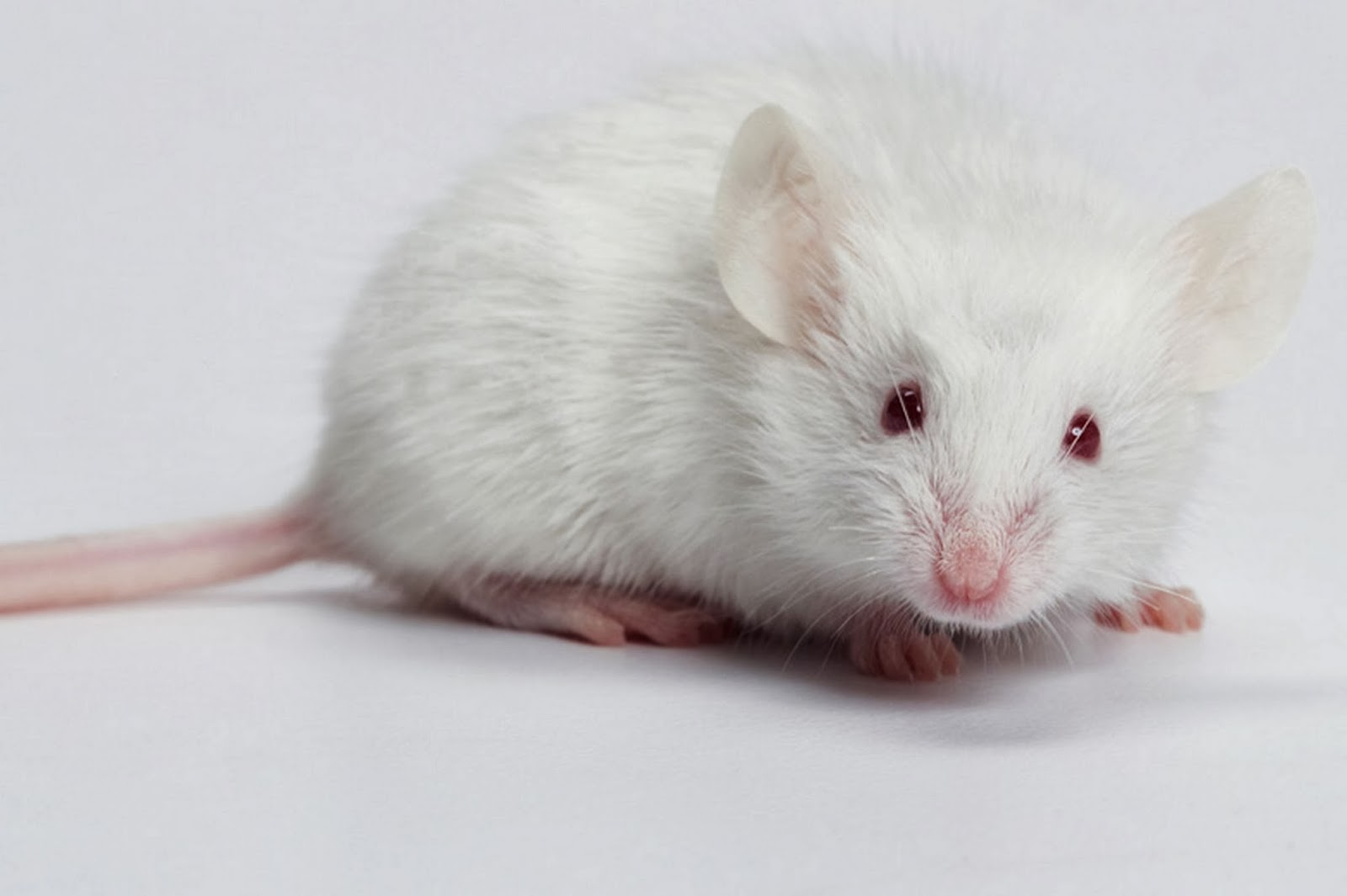 Nằm mơ thấy chuột là điềm gì, đánh con gì?