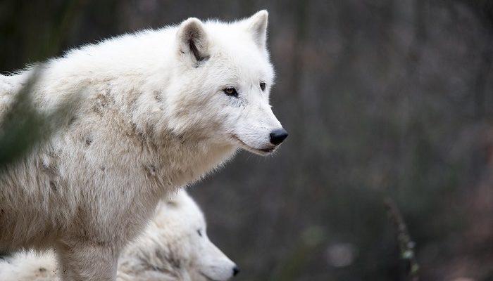 Mơ thấy sói trắng đánh con gì?