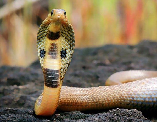 Giải mã giấc mơ thấy rắn hổ mang đánh con gì?