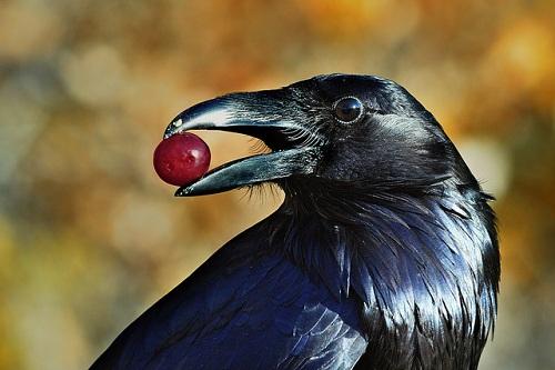 Mơ thấy quạ đen