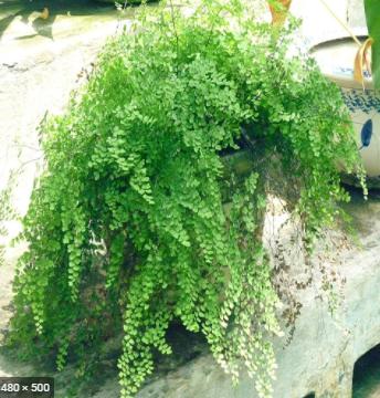 Khám phá ý nghĩa phong thủy của cây tóc thần vệ nữ