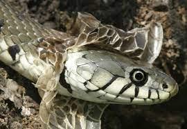 Nằm mơ thấy rắn lột xác đánh số mấy? Có điềm báo gì?